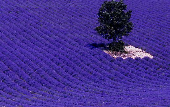 LavenderDark