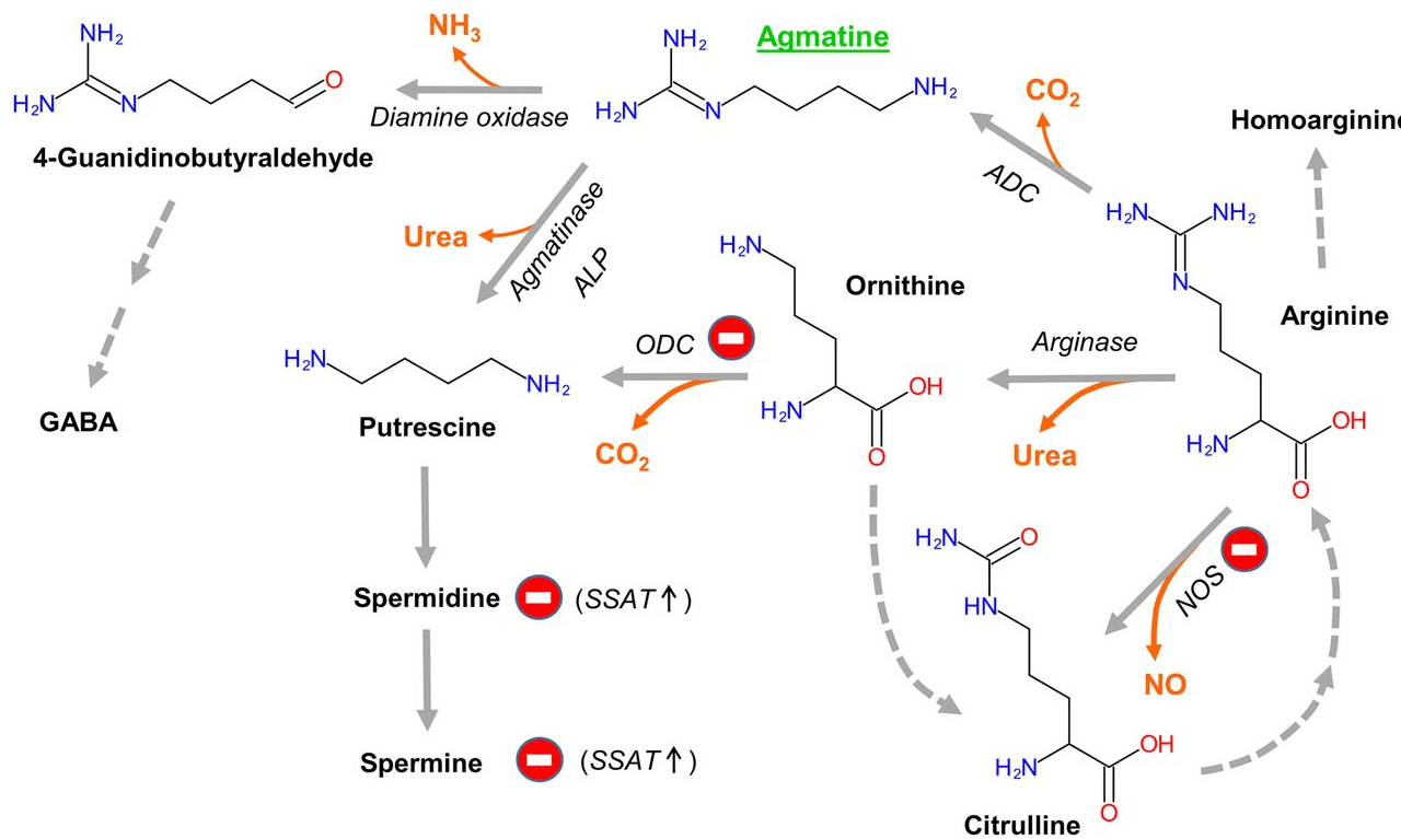 Agmatine synthesis